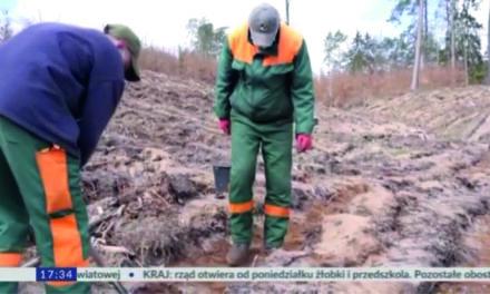 Nasadzenia lasów w Nadleśnictwie Tuczno
